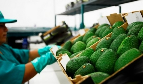 Peru: Delays will not affect avocado volume, but extend the campaign